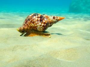 triton-mollusk-1408114784nzG
