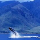 ザトウクジラの求愛の歌